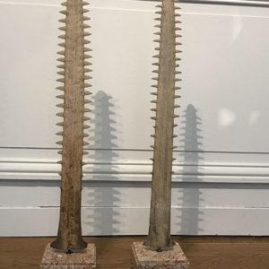 Paire de rostres ou dents de requins scie du XIX siècle